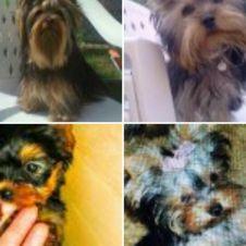 Cuccioli di Yorkshire terrier toy Ravenna
