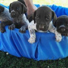 Disponibili cuccioli Drahthaar Ravenna