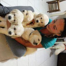 Vendesi cuccioli di golden retriever maschi con pedigree Forli-Cesena