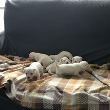 Vendo bellissimi cuccioli maltesi Rimini
