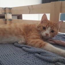 gatto rosso machio Prato