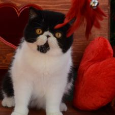 exotic shorthair cuccioli Massa-Carrara