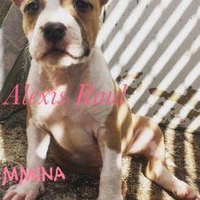 Splendidi cuccioli american staff terrier Lucca