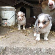 Cuccioli di pastore australiano Lucca