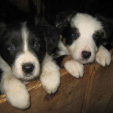cuccioli di border collie Firenze