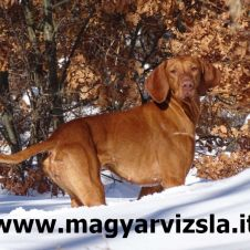 Cuccioli Bracco Ungherese Magyar Vizsla Saki X Lux Firenze