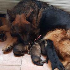 cuccioli pastore tedesco Firenze