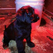 Cuccioli Riesenschnauzer nero Arezzo