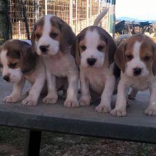 vendita cuccioli Grosseto