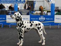Dalmata - cane razza fci 153