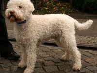 Lagotto romagnolo - cane razza standard fci 298 - curiosit�