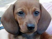 Bassotto - cane razza  standard fci 148 - curiosit�