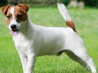 Jack russel terrier-cane razza standard fci 345-curiosita