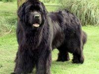 Terranova-cane razza standard fci 50-curiosita