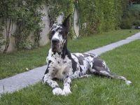 Alano - cane razza fci 235 - curiosita