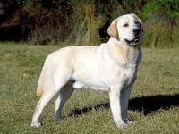 Labrador retriever-cane razza fci 122-curiosita