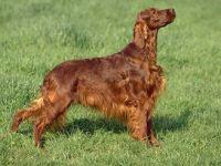 Setter irlandese-cane razza fci 120 -330-curiosita