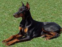 Dobermann-cane razza standard fci 143-curiosita