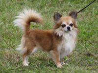 Chihuahua cane razza standard-fci 218-curiosita