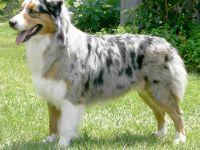 Australian shepherd-pastore australiano-cane razza standard-fci 342-curiosita