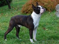 Boston terrier cane razza standard-fci 140-curiosita
