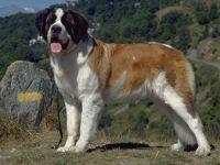 Cane razza san bernardo-fci 61-curiosita