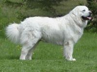Cane da montagna dei pirenei standard razza fci 137