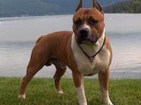 Cane american staffordshire terrier standard razza fci 286