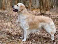 Golden retriever fci 111 - curiosita