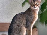 Razza gatto abissino: curiosita e standard
