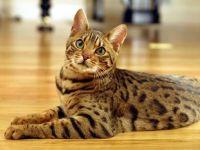 Gatto razza bengala - curiosita' e standard