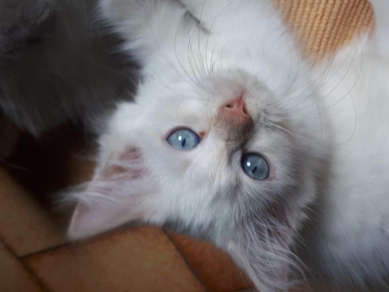 cuccioli di gatto siberiano Torino - Annunci Zampettando