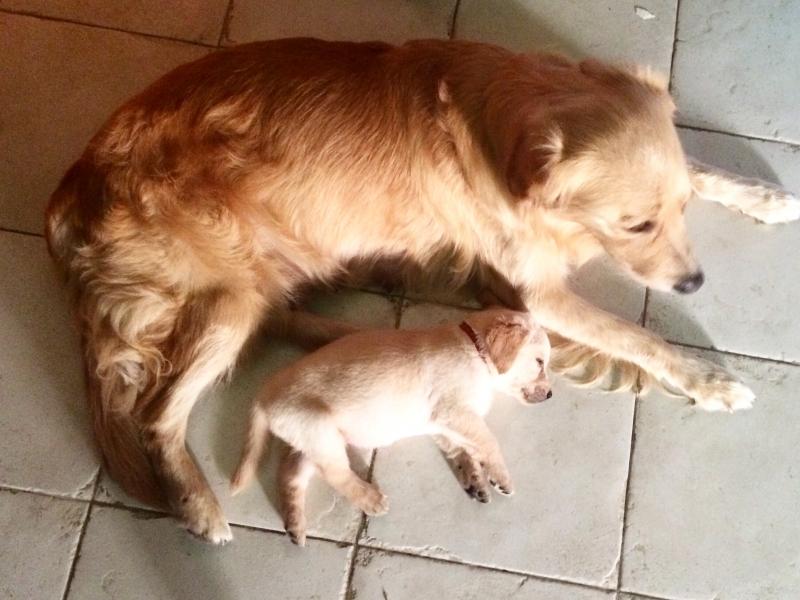 Cucciolata Golden Retriver-Labrador Retriver Torino - Annunci Zampettando