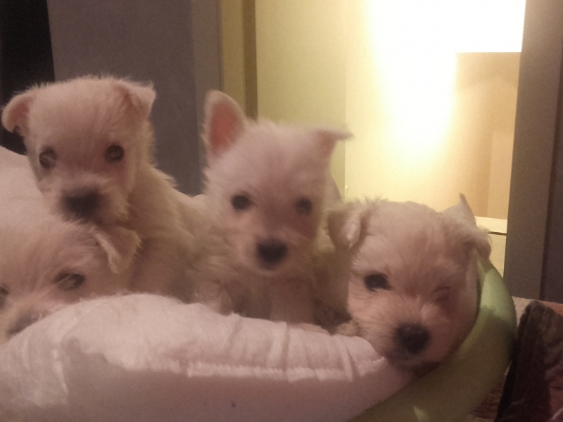 Cuccioli westie westy West Highland White terrier Torino id. 14788