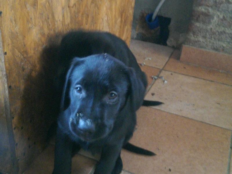 Cuccioli maschi di Labrador Retriver con pedigree ENCI Torino - Annunci Zampettando