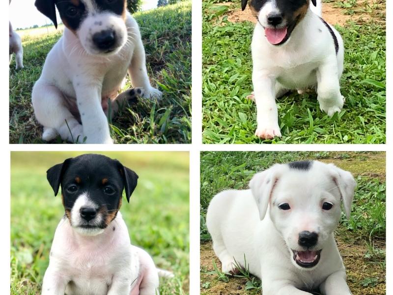 Cuccioli di Jack Russell Terrier  Torino - Annunci Zampettando