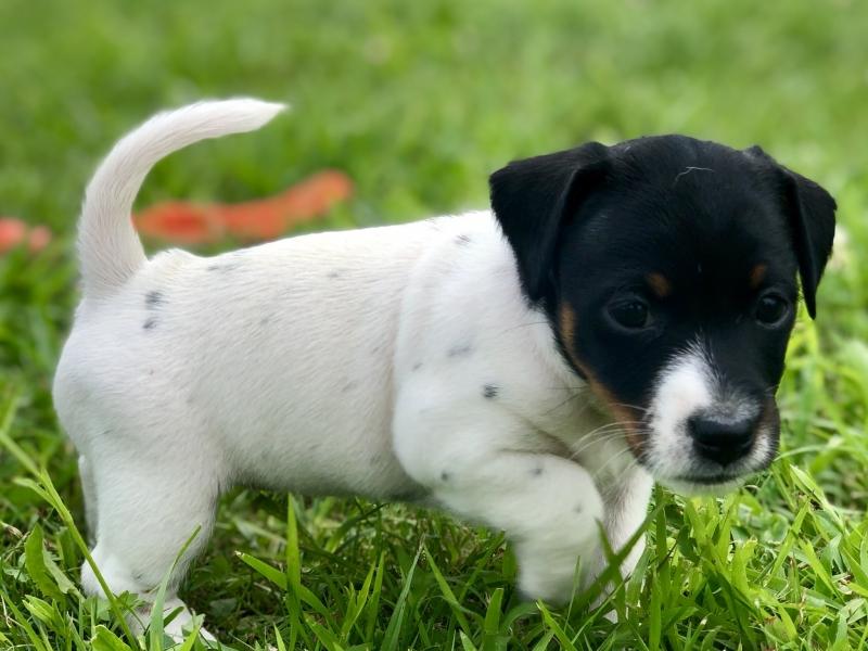 Cuccioli di Jack Russell Terrier  Torino id. 17106