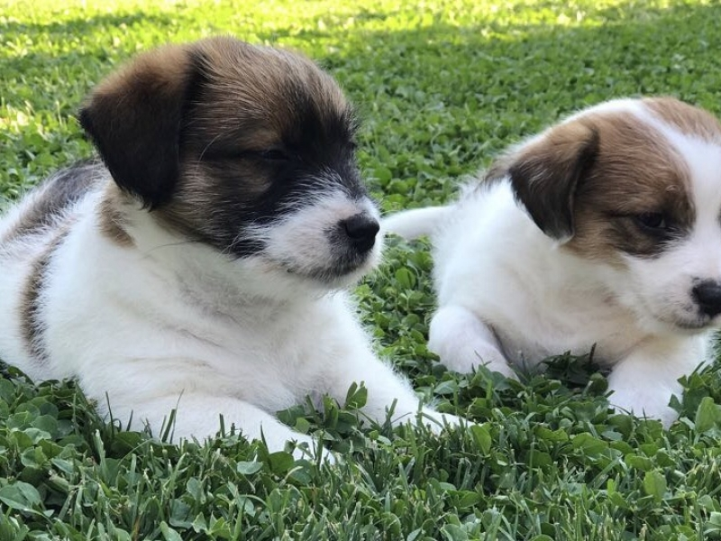 Adorabili cuccioli di Jack Russel Terrier Novara id. 15997