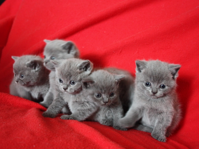 British Shorthair  Cuneo id. 16310