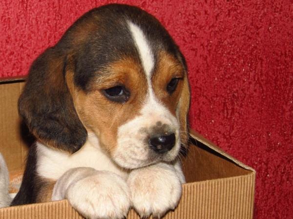 vendo cuccioli di beagle Cuneo - Annunci Zampettando