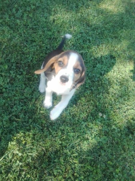 vendo cuccioli di beagle Cuneo id. 14487