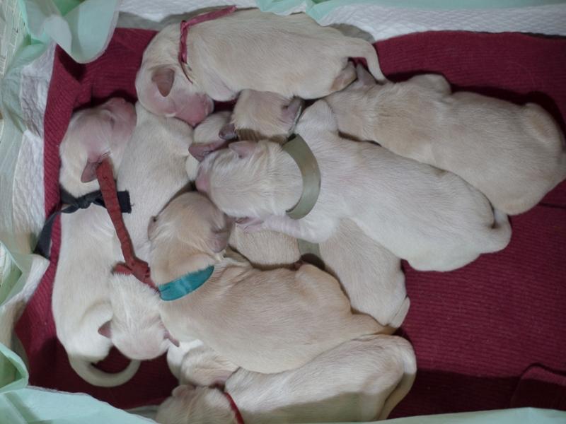 Cuccioli di Golden Retriever Asti - Annunci Zampettando