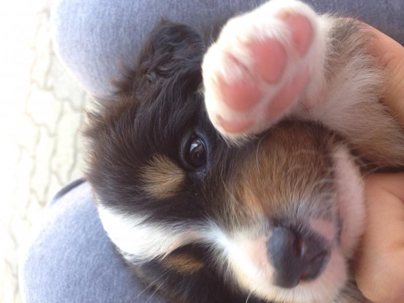 Vendo bellissimi cuccioli di pastore australiano pronti a metà settembre Alessandria - Annunci Zampettando