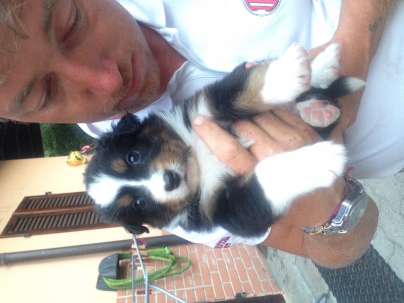 Vendo bellissimi cuccioli di pastore australiano pronti a metà settembre Alessandria id. 14451