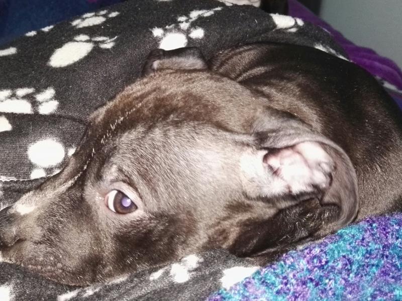 Ultimo cucciolo di Pitbull Alessandria - Annunci Zampettando