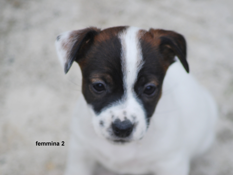 Cucciola di Jack Russell Terrier Alta Genealogia Alessandria - Annunci Zampettando