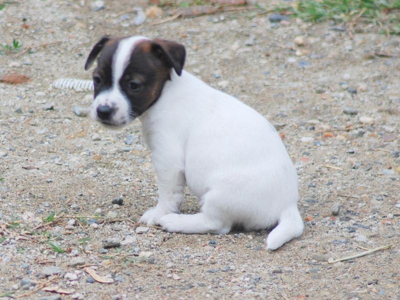 Cucciola di Jack Russell Terrier Alta Genealogia Alessandria id. 17054
