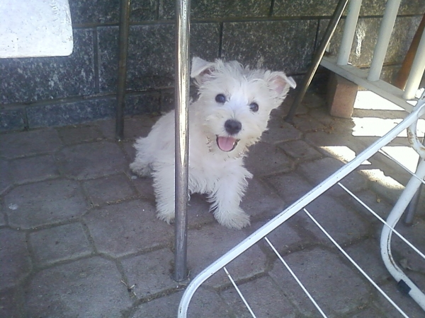 west highland white terrier Alessandria id. 16248