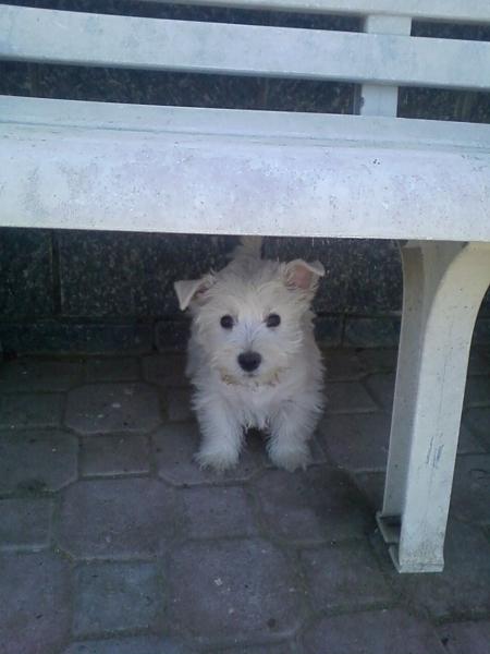 west highland white terrier Alessandria - Annunci Zampettando