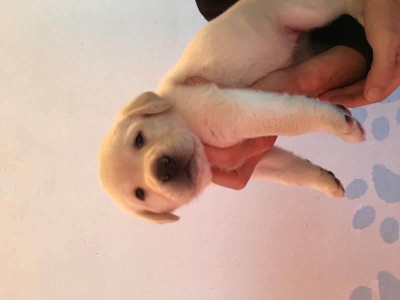 Disponibili cuccioli di Labrador Retriever con Pedigree Biella id. 15149